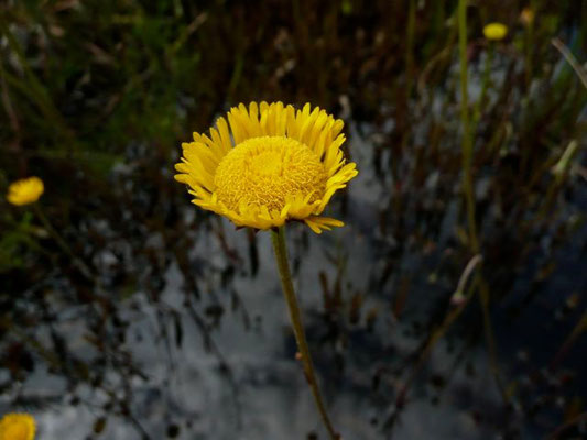 Sneezeweed-Helenium amarum
