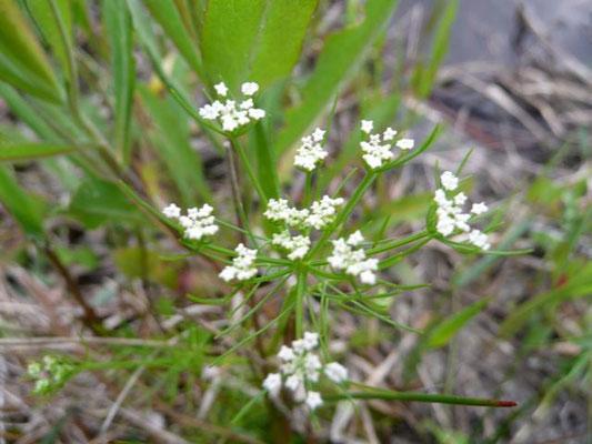 Pennywort, Water--Hydrocotyle bonariensis