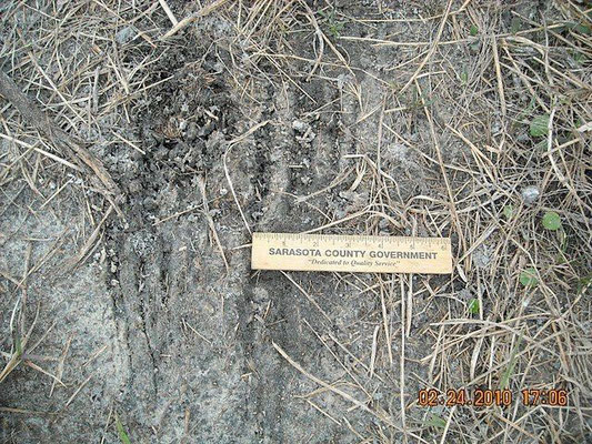 Panther track in the Carlton Reserve Feb. 2010 (telltale scrape)