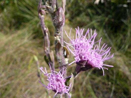 Deertongue, Hairy Chaffhead - carphephorus paniculatus