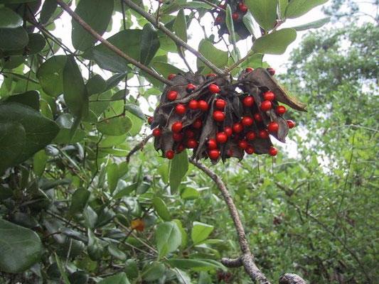 Rosary Pea-Abrus precatorius