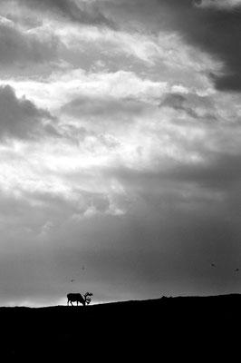 4/ RENNE DU SVALBARD (Rangifer tarandus platyrhynchus) Gerdøya, KONGSFJORDEN, SVALBARD - 79,0°N, 12,3°E NORVÈGE