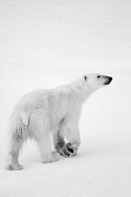 10/ OURS BLANC (Ursus maritimus) Océan glacial arctique, SVALBARD - 81,5°N, 11,4°E NORVÈGE