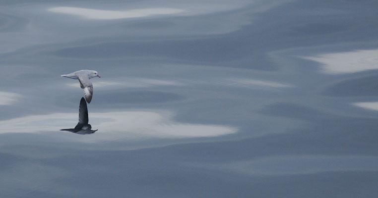 17/ FULMAR ANTARCTIQUE (Fulmarus glacialoides) Croker Passage, PÉNINSULE ANTARCTIQUE - 64,0°S, 61,8°O ANTARCTIQUE