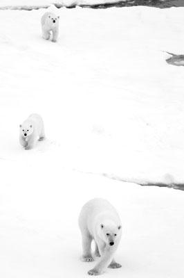 9/ OURS BLANC (Ursus maritimus) Aux alentours de Kvitøya, SVALBARD - 80,0°N, 30,3°E NORVÈGE