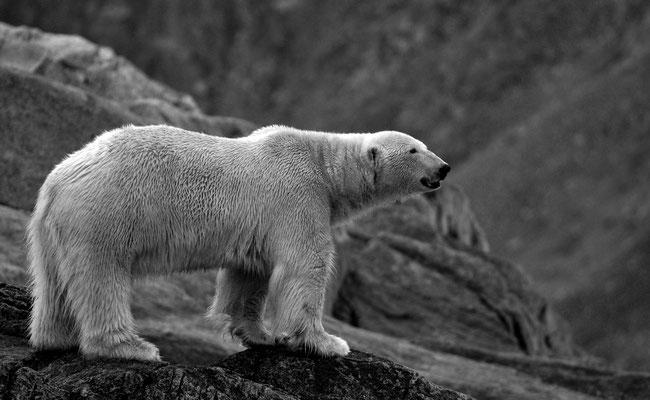 3/ OURS BLANC (Ursus maritimus) Fuglefjorden, FUGLØYA, SVALBARD - 79,8°N, 11,4°E NORVÈGE