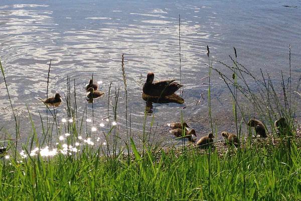 Entenfamilienausflug