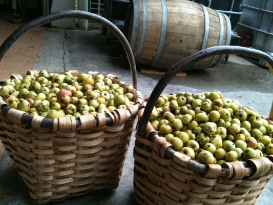 Près de 8 kgs de Pommes sylvestres par saski (panier)