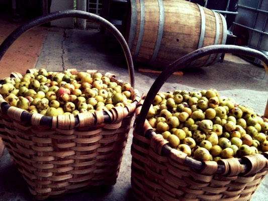 Nearly 8 kgs Scots Apples by saski ( basket)