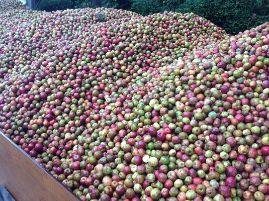 Mélange de variétés anciennes de pomme à cidre