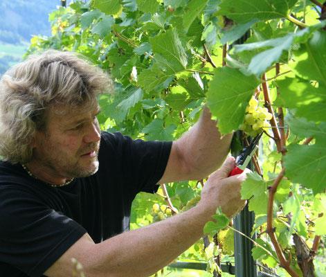 © Weinbau Zoller-Saumwald Photograf - Bildbeschreibung Ötztal, Haiming, Weinbau Zoller-Saumwald, Wein, Sommer, Weinrebe, Weintrauben, Mann, Blätter, Ernte