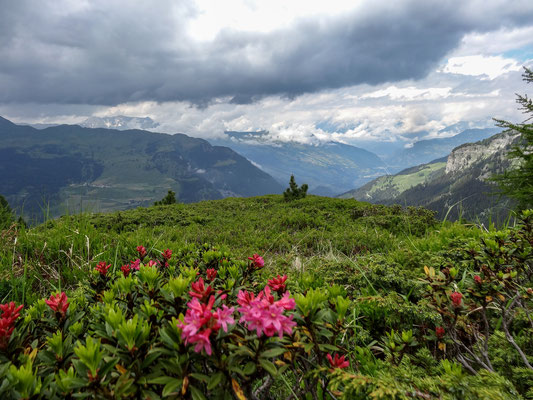 Die Alpenrosen blühen (Foto: Bruno Riedhauser)