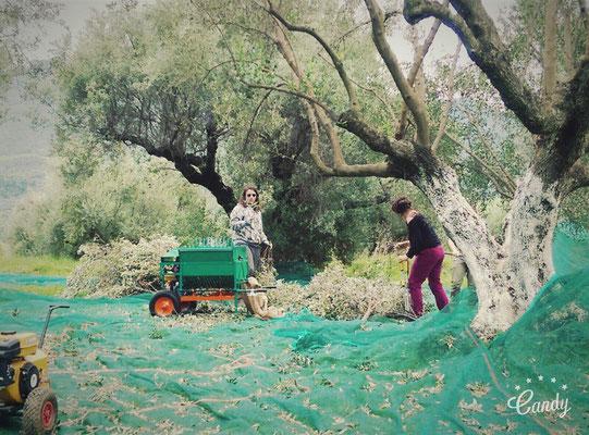 die äste am boden von den oliven trennen