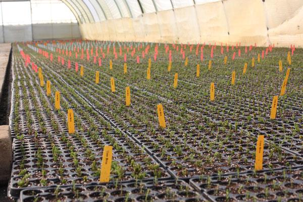 Frisch vermehrte Callunen Stecklinge im Gewächshaus | Fresh propagated cuttings of calluna in the greenhouse