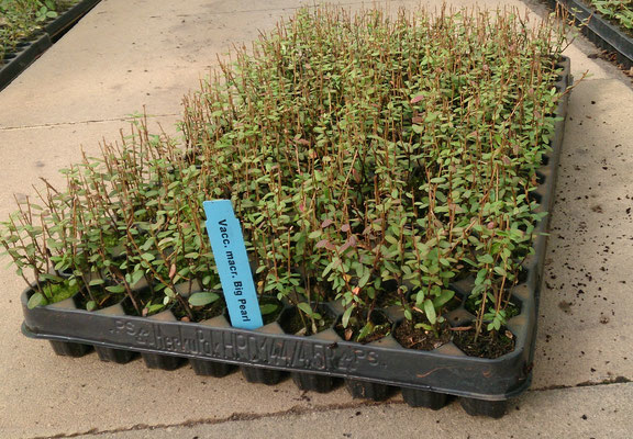 Vaccinium macrocarpon Jungpflanzen | Vaccinium macrocarpon youngplants