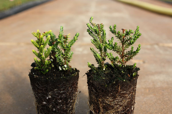 Gerade bewurzelte Twins und Trios | Just rooted twins and trios