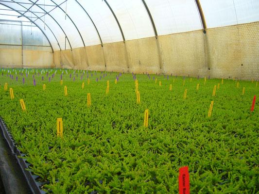 Calluna Jungpflanzen vor dem Stutzen | Calluna youngplants before trimming