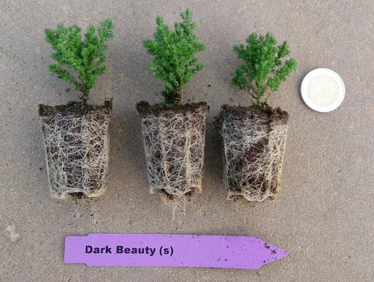 Calluna vulgaris Jungpflanzen | Calluna vulgaris youngplants