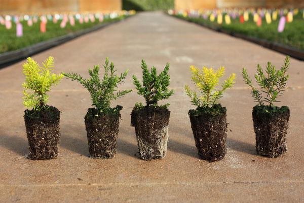 Verschiedene Jungpflanzen | Different youngplants