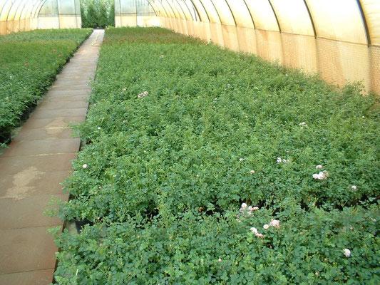 Rosenmutterpflanzen im Gewächshaus | Stockplants of roses in the greenhouse