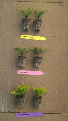 Erica carnea Jungpflanzen | Erica carnea youngplants