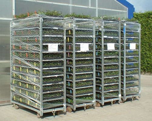 Rosenjungpflanzen auf CC-Container fertig zum Versand | Roses youngplants on trolleys ready for dispatch