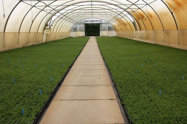 Gestutzte Jungpflanzen von Calluna vulgaris – Wildheide | Trimmed youngplants of Calluna vulgaris – wild heather