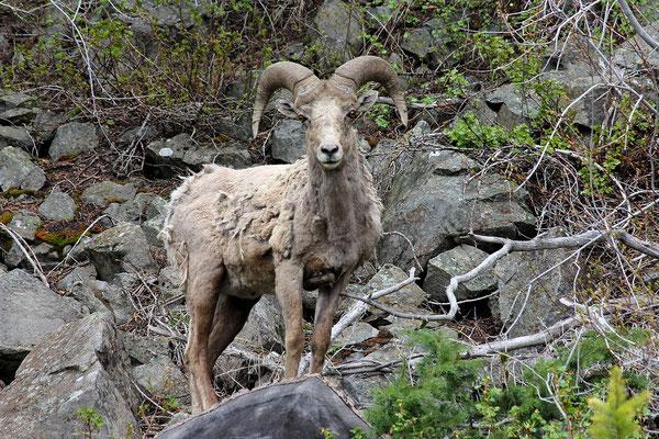 * BIGHORN SHEEP *