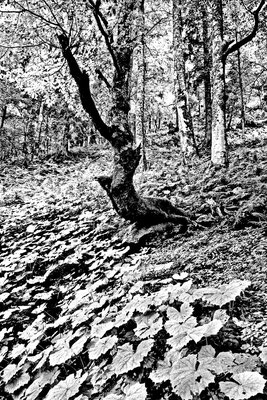 Wood sw13