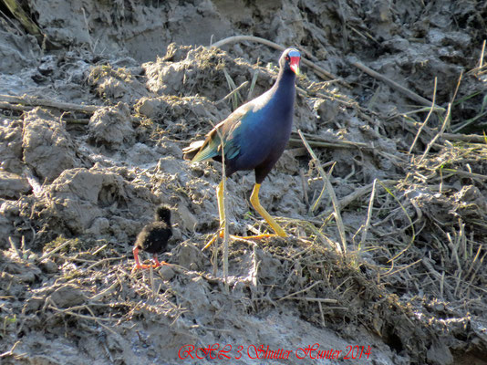 PURPLE GALLINULE AND HER BABY