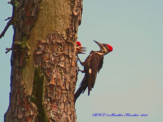 A PILEATED WOODPECKER IS FEEDING HER YOUNG.