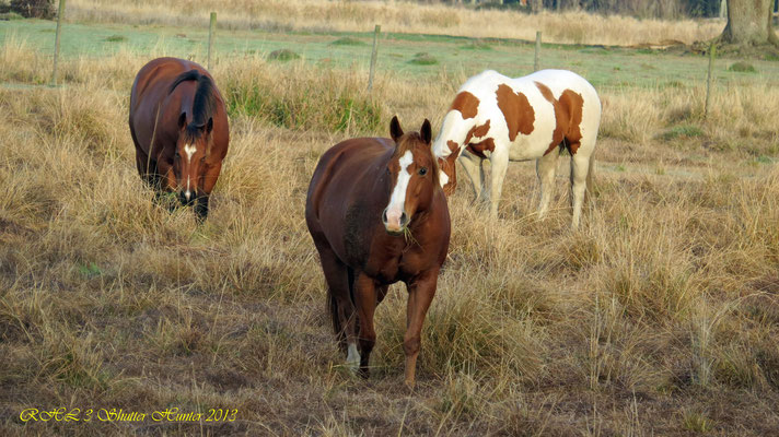 REGISTERED QUARTER HORSES AND PAINTS CUTTING HORSES LIKE THIS MR. GUNSMOKE PAINT CUTTING MARE