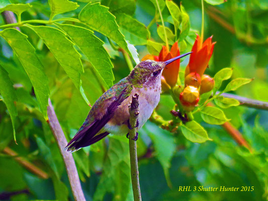 A Female Ruby-throated Hummingbird