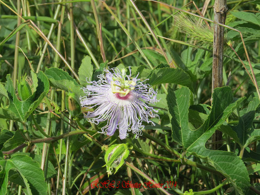 BEAUTIFUL WETLAND FLOWERS SUCH AS THIS PASSION FLOWER