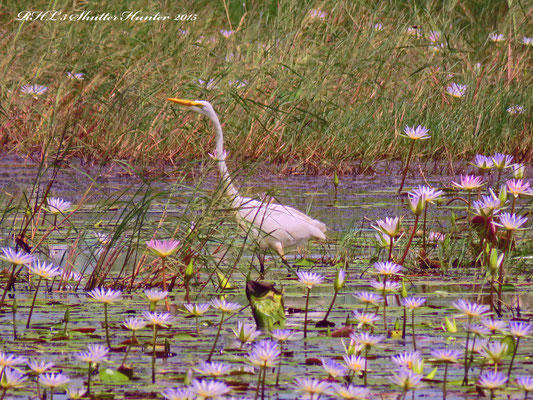 A GREAT EGRET WADING IN THE LOTUS LILLYS