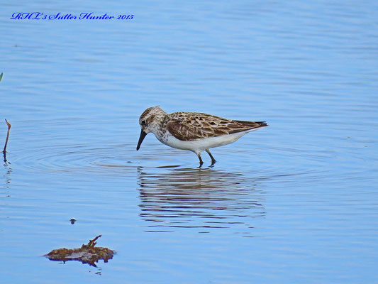 A fall juvenile Sanderling