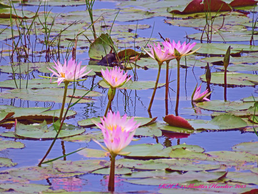 THE COLORFUL LOTUS LILLYS ARE SPECTACULAR DURING THE SUMMER MONTHS IN THE WETLANDS.