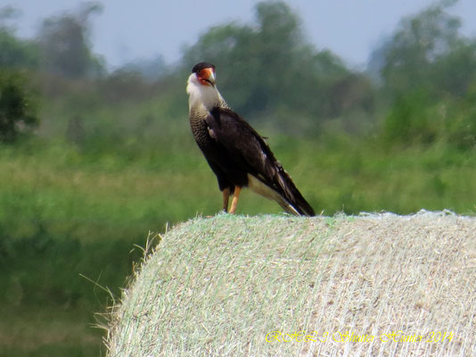 CRESTED CARACARA ALWAYS SHOW UP WHEN I AM BALING HAY