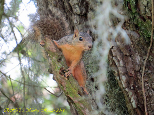 RED FOX SQUIRREL