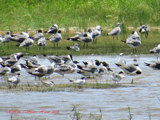 A GROUP OF LAUGHING GULLS