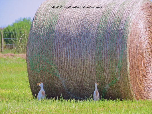 Cattle Egrets enjoying the shade of our Jiggs Hay we just baled.
