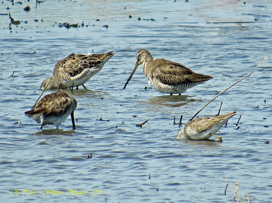 A GROUP OF FALL JUVENILE LONG-BILLED DOWITCHERS