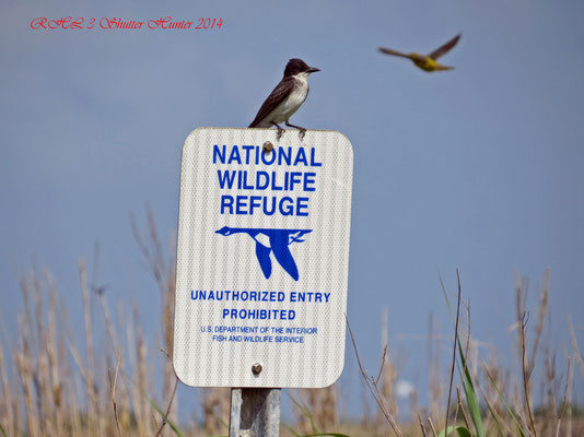 EASTERN KINGBIRD ENTERING UNAUTHORIZED AREA OF U.S. FISH AND WILDLIFE THAT USE TO BE PART OF OUR ORIGINAL RANCH