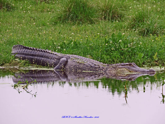 "THIS IS ""CHARLENE"" THE ALLIGATOR WHO STAYS AT OUR HOME PLACE RANCH, & HAS BEEN THERE SINCE THE 70'S."