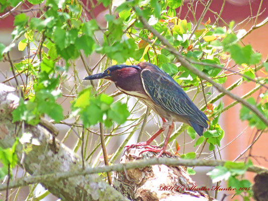A GREEN HERON CROUCHES IN THE BRANCHES GETTING READY FOR ITS' NEXT FAST FOOD MEAL!