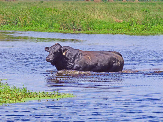 One of my Registered Black Brangus Bulls cooling off after a hot day!