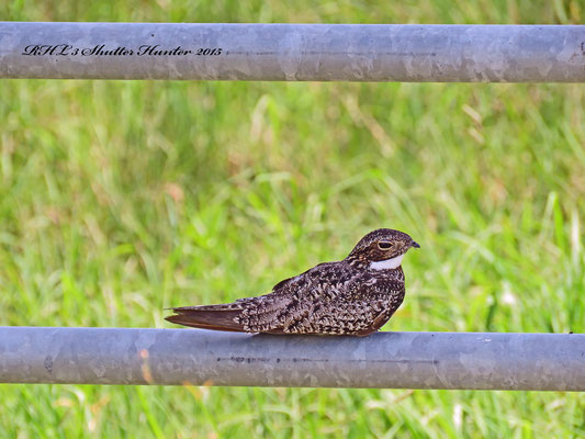 A CLEVER COMMON NIGHTHAWK USING THE SHADE OF A GATE TO COOL OFF!
