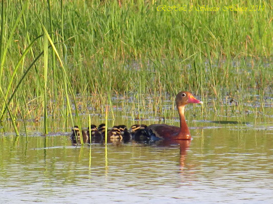 BLACK-BELLIED WHISTLING TREE DUCK WITH BABIES