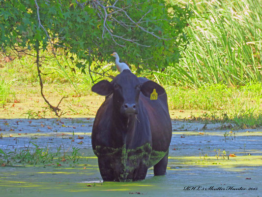 Cattle Egret on a Black Brangus Cow