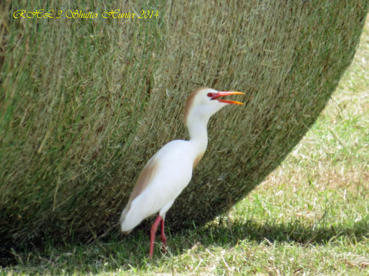 CATTLE EGRET ENJOYING THE SHADE OF ONE OF OUR ROUND JIGGS HAY BALES ON A HOT SUMMER DAY!